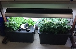 Hydroponic garden in classroom growing lettuce and tomatoes.